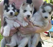 один мужчина и две женщины Сибирский хаски щенки
