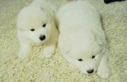 продаются щенки самодской лайки