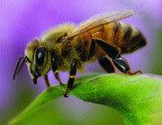 Продам бджолопакети (до 100 шт.) карпатської породи . Ціна договірна