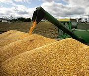 купим подсолнечник,  рапс,  пшеницу,  сою,  кукурузу,  ячмень,