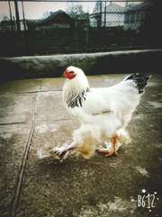 кури породи світла брама,  чистокровна,  підрощені, добові, курча,  яйця