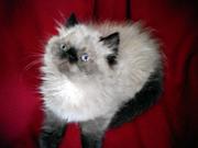 Персидські кошенята єкстремали