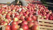 Продам яблоки со своего сада