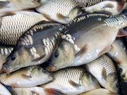 Продам речную рыбу оптом