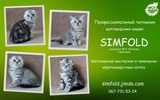 Шотландские котята. Ивано-Франковск.